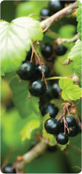 Blackcurrant Growing